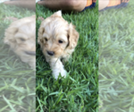 Puppy 2 Cock-A-Poo