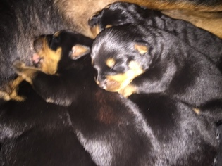 View Ad Rottweiler Puppy For Sale Indiana Spencer Usa