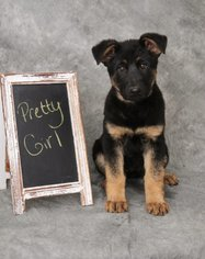 German Shepherd Dog Puppy For Sale in GREENCASTLE, PA, USA