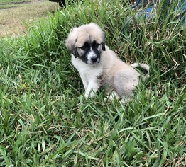 Anatolian Shepherd-Great Pyrenees Mix Puppy For Sale in ROBSTOWN, TX, USA