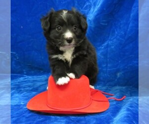 Pom-A-Poo Puppy for sale in HARTVILLE, MO, USA