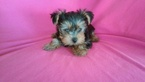 Yorkshire Terrier Puppy For Sale in WHITTIER, CA