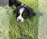 Small #7 Bernese Mountain Dog