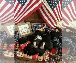 Aussie-Poo Puppy for sale in UNIONVILLE, IA, USA