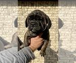 Puppy 6 Bullmastiff-French Bulldog Mix