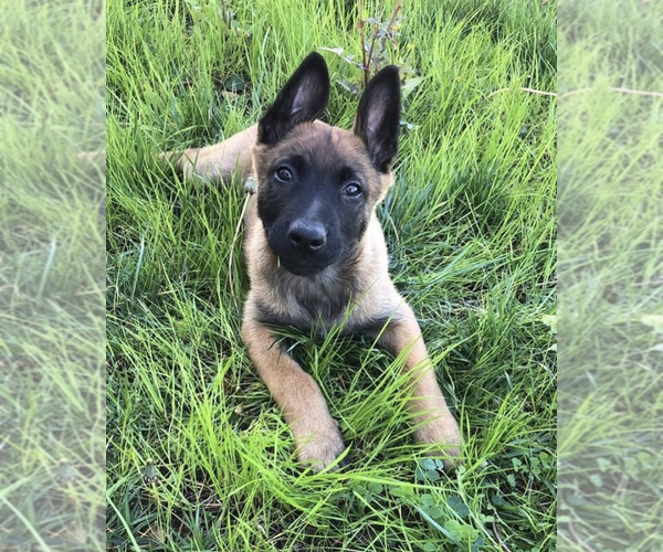 Medium Photo #1 Belgian Malinois Puppy For Sale in CHINO, CA, USA