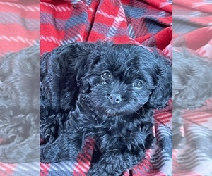 Cavalier King Charles Spaniel-Poodle (Toy) Mix Puppy for Sale in HOLDEN, Missouri USA