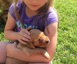 Golden Retriever Puppy For Sale in EMBARRASS, MN, USA