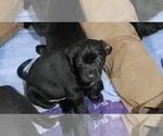 Small #34 Labrador Retriever