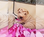 Small Chinese Shar-Pei