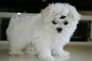 Maltese Puppy for sale in MACHESNEY PARK, IL, USA
