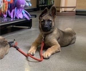 German Shepherd Dog-Malinois Mix Puppy for Sale in CORONA, California USA