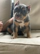 American Bully Puppy For Sale in VALRICO, FL, USA