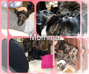 Mother of the Pembroke Welsh Corgi-Scottish Terrier Mix puppies born on 03/11/2020