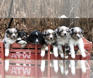 Australian Shepherd Puppy for sale in CHESTERFIELD, MI, USA