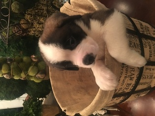 Saint Bernard Puppy For Sale in FORT PAYNE, AL, USA
