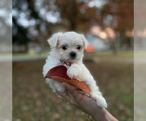 View Ad: Maltese-Maltipoo Mix Puppy for Sale near Germany