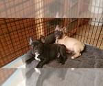 Small Photo #10 French Bulldog Puppy For Sale in CAPE CORAL, FL, USA