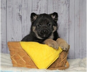 Norwegian Elkhound Puppy for sale in FREDERICKSBG, OH, USA