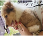 Small #7 Collie
