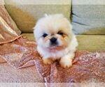 Puppy 5 Pekingese
