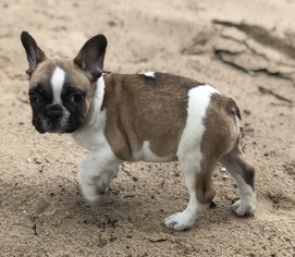 French Bulldog Dog For Adoption in MIDDLEBURG, FL, USA