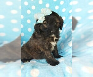 Aussie-Poo Puppy for sale in LANCASTER, PA, USA