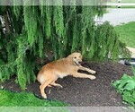Small Photo #1 Goberian Puppy For Sale in BRINKHAVEN, OH, USA