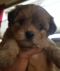 Morkie Puppy For Sale in SEATTLE, WA