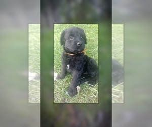 Rottle Puppy for Sale in KENSINGTON, Ohio USA