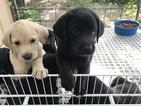 Labrador Retriever Puppy For Sale in LICKING, MO, USA