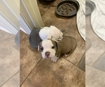 Small Photo #5 Olde English Bulldogge Puppy For Sale in BOSSIER CITY, LA, USA