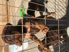Doberman Pinscher Puppy For Sale in RIVERSIDE, CA, USA