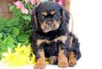 Cavalier King Charles Spaniel Puppy For Sale in MOUNT JOY, PA, USA
