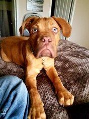 Dogue de Bordeaux Puppy For Sale in YOUNGTOWN, AZ