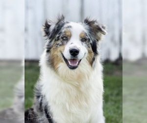 Mother of the Australian Shepherd puppies born on 02/27/2021