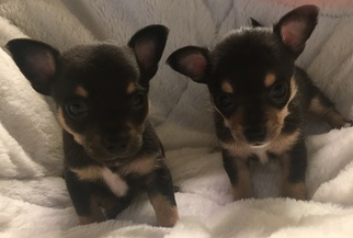 Chihuahua Puppy For Sale in MC KEES ROCKS, PA, USA