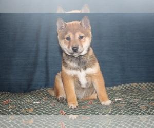 Shiba Inu Puppy for sale in PEMBROKE, KY, USA