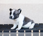 Small Photo #6 French Bulldog Puppy For Sale in HESPERIA, CA, USA