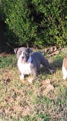 Olde English Bulldogge Puppy for sale in TELEPHONE, TX, USA