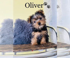 Morkie Puppy for sale in COOKEVILLE, TN, USA
