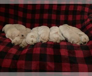 Golden Retriever Puppy for Sale in LANCASTER, Pennsylvania USA