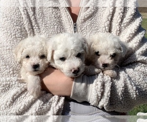 Bichon Frise Puppy for sale in ROSE HILL, KS, USA
