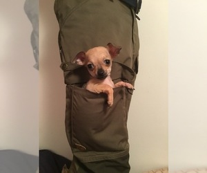 Chihuahua Puppy for sale in MANKATO, MN, USA