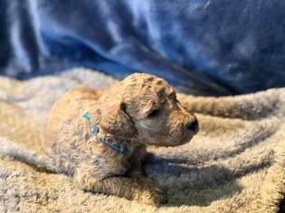 Poodle (Standard) Puppy For Sale in KARLSTAD, MN, USA