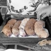 Goldendoodle Puppy For Sale in CATLETTSBURG, KY