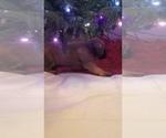 Small #15 Mastiff