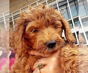 Goldendoodle-Poodle (Standard) Mix Puppy for Sale in BALDWIN HILLS, California USA