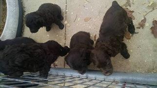 Boykin Spaniel Puppy For Sale in TALLASSEE, AL