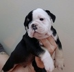 Small #7 Olde English Bulldogge
